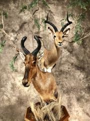 impala `1